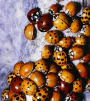 Invasion de coccinelles
