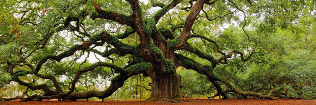 Découvrez les plus vieux arbres du monde