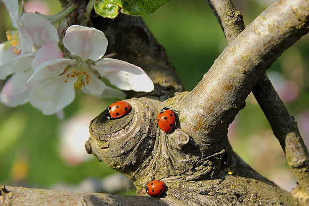 coccinelle-pucerons-insecticides