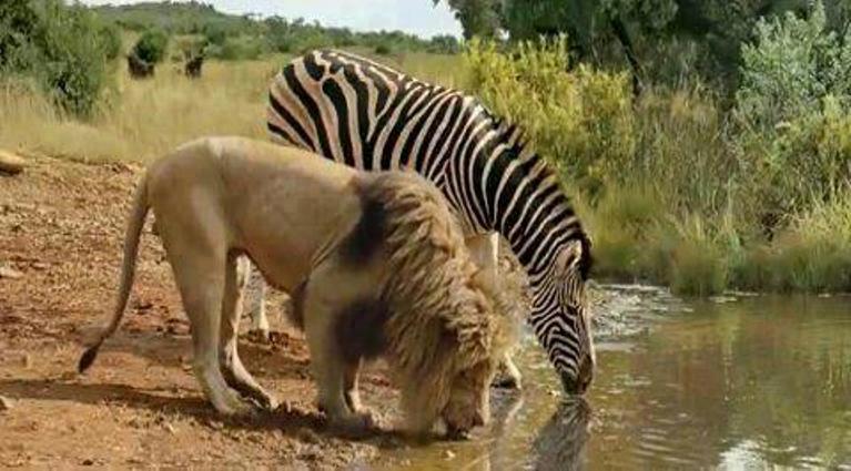 Photos drôles où touchante de toute animaux autres que les ânes ! Lyon-zebre