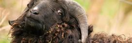 Des moutons à Paris ou l'éco-patûrage intra-muros