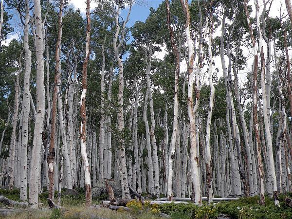 pando-arbre-faux-trembles