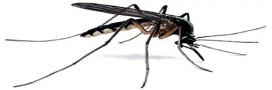 Le géraniol, seule substance efficace contre les moustiques?