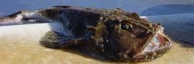Guide des poissons: la baudroie ou queue de lotte