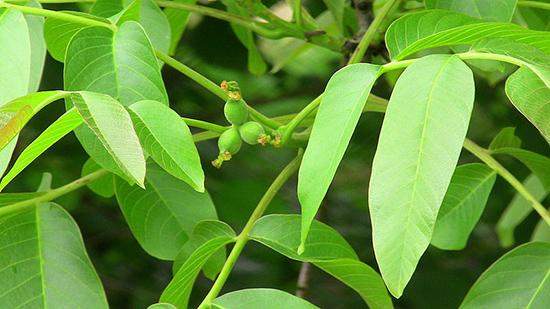 eloigner-Fourmis-feuilles-noyer