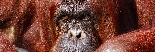 Plus d'animaux sauvages au cirque en Belgique Sumatra-orang-outan