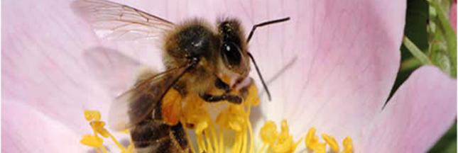 abeilles-fleur-rose
