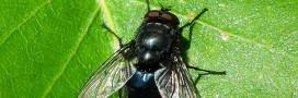 Chasser les mouches: 10 astuces naturelles