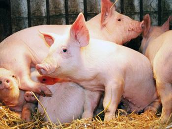 Ryan Gosling à la rescousse des cochons Cochon-ryan-gosling