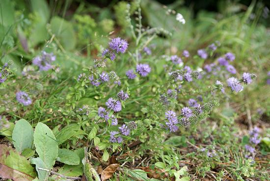 Chasser les mouches : 10 astuces naturelles Menthe-pouliot-contre-mouches