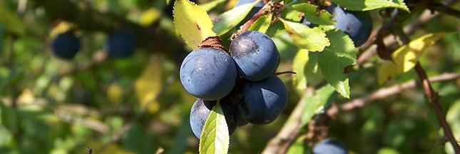 prunes-prunelles-arbre-fruitier-recolte-ete-ban