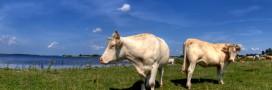 De la viande bovine tuberculeuse aux portes de la France?