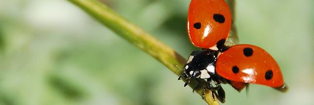 coccinelle-insecte-jardin-lutte-biologique-ban