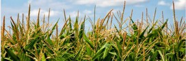 OGM – dans quels pays sont-ils autorisés ou interdits?