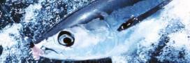 Greenpeace note les grandes marques sur la pêche au thon