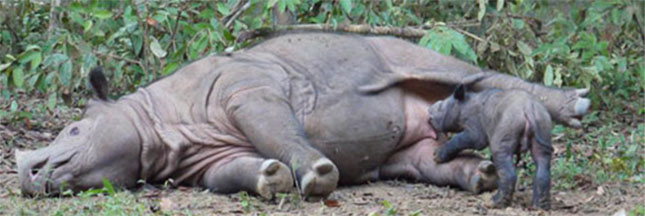 Les derniers rhinocéros du Mozambique ont été tués Rhinoceros-extinction