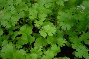 Plante-intérieur-coriandre