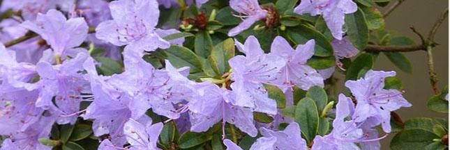 azalee-plantes