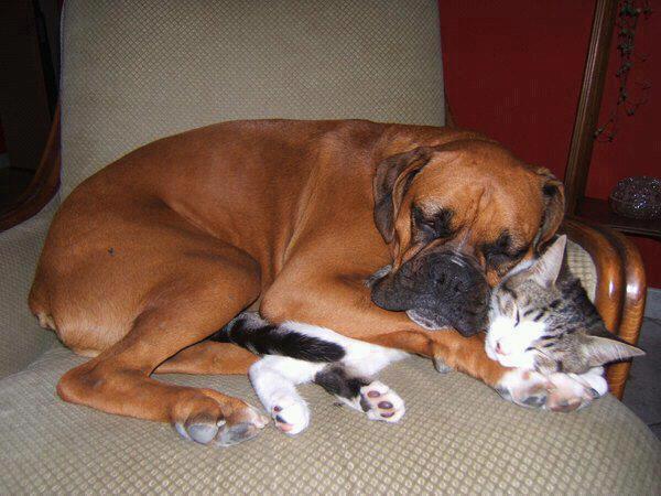 Drôles de couples dans la nature Chien-chat-sieste