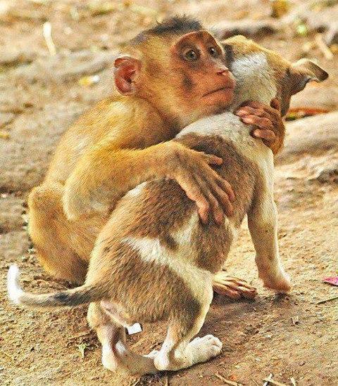 Drôles de couples dans la nature Drole-coupe-singe