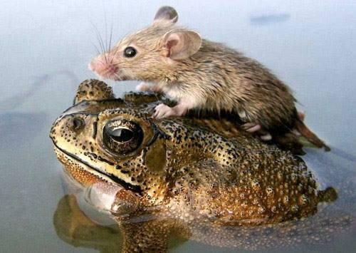 Drôles de couples dans la nature Drole-couple-grenouille