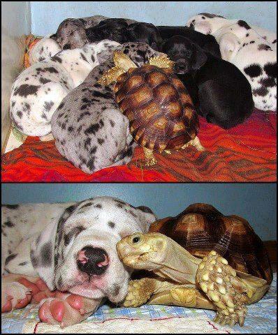 Drôles de couples dans la nature Drole-couple-tortue