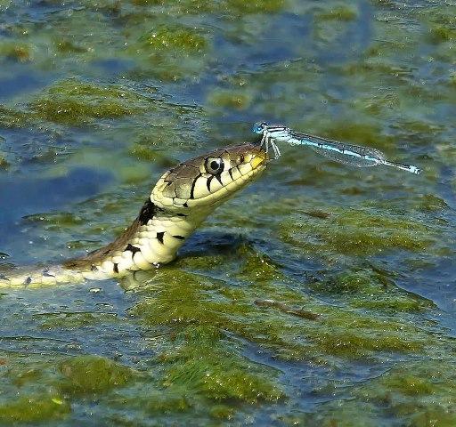 Drôles de couples dans la nature Droles-couples-serpents