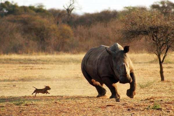 Drôles de couples dans la nature Rhino-chien