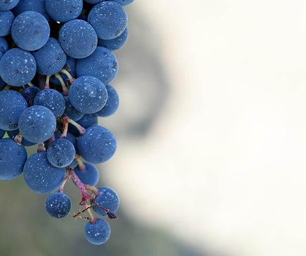 raisin fruit de saison automne octobre