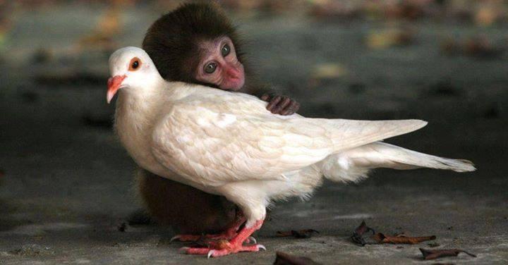 Drôles de couples dans la nature Singe-dove