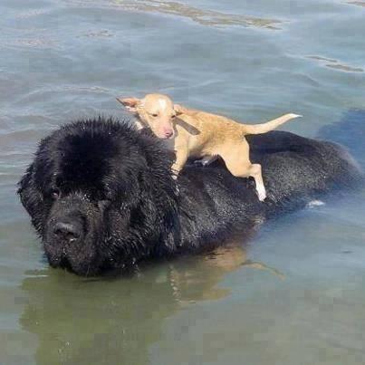 Drôles de couples dans la nature Deux-chiens-nage