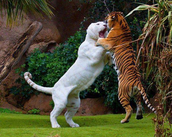 Drôles de couples dans la nature Deux-tigres