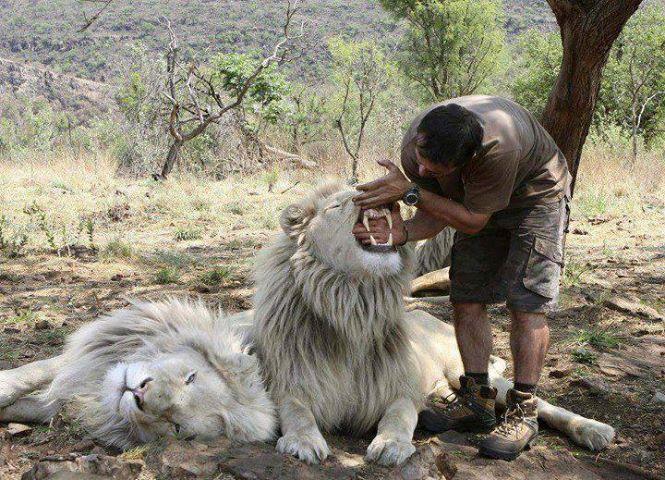 Drôles de couples dans la nature Lion-entretien-dents