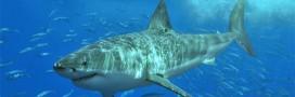 Sauvons les requins du massacre!