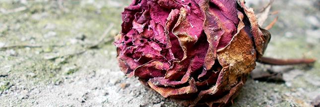 rose-fleurs-fanees-jardin-bio-00-ban