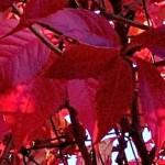 Vignoble bio : comment lutter contre la flavescence dorée ?...