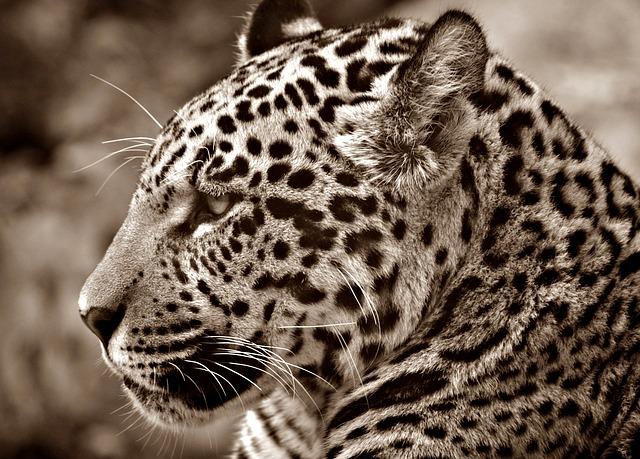 Le jaguar compte parmi l'un des cinq plus grands félins sur notre ... T L Jaguar