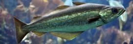 Guide poissons: le lieu jaune passe à l'orange