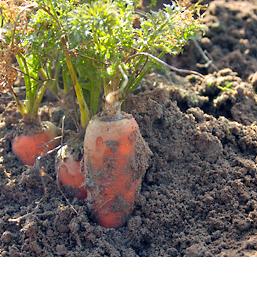 © http://www.sicastpol.fr/mini-legumes