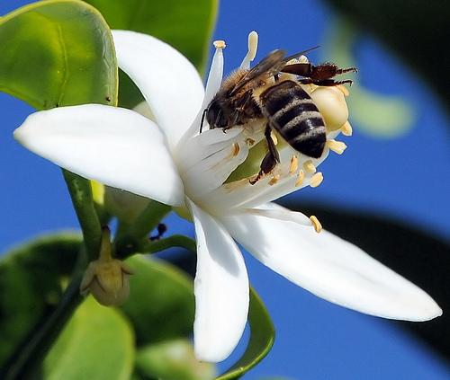Se relier maintenant entre nous pour rayonner l'Amour - Page 6 Fleur-oranger-abeille