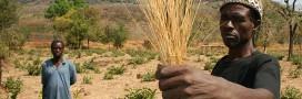 Le fonio, une céréale sans gluten riche en nutriments