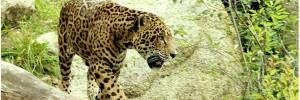 jaguar-menace amazonie