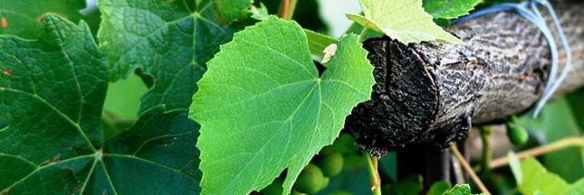 vin-vignoble-vigne-automne-feuilles-ban
