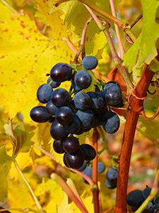 vin-vignoble-vigne-automne-feuilles-raisin