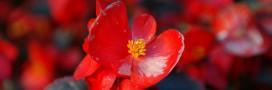 En mars: bouturer le Bégonia Maculata