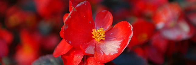 La bouture du mois - mars, bouturer le Bégonia Maculata
