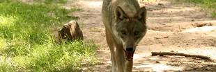 Plan loup : la chasse au loup recommence