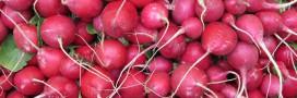 Recette bio: potage aux fanes de radis