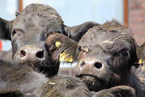Ferme des Mille Vaches : la construction reprend… Vaches-elevage-animaux