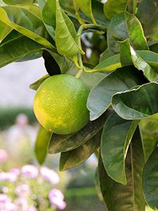 huile-essentielle-de-citron-vert-lime-01